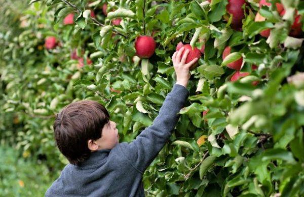 Best Spots For Apple Picking